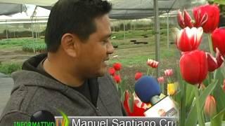 getlinkyoutube.com-Produccion de tulipanes en Atlixco