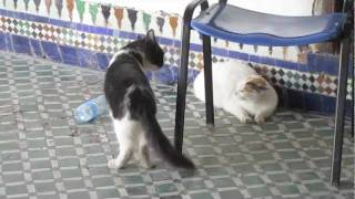 getlinkyoutube.com-very angry cats in morcocco, uncut