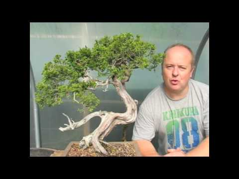 Creating Bonsai Trees - Yamadori