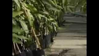 getlinkyoutube.com-บ้านเกษตร : เทคนิคการปลูกมะม่วงขาย
