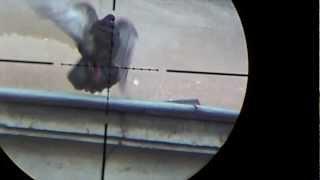 getlinkyoutube.com-Air rifle hunting #6 Shooting pigeons - pest control