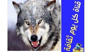 getlinkyoutube.com-ما لم تسمعه من قبل عن الذئب اغرب من الخيال معلومات غريبة جدا
