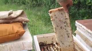 getlinkyoutube.com-Отбор меда от семьи бакфаст линия B 33 BZF  Selection of honey from the family buckfast line B 33