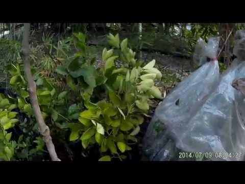 มะนาวนอกฤดู วิธีการบังคับมะนาวให้ออกดอกติดผลนอกฤดู โดยการแต่งทรงพุ่ม (๔/๔) โทร.081-984-6526