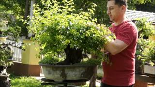 getlinkyoutube.com-SandevBonsai Technics - Pruning, how to achieve good ramification
