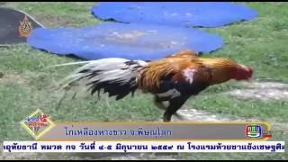 ไก่เหลืองหางขาว จ.พิษณุโลก