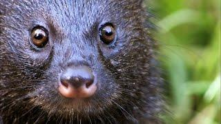 getlinkyoutube.com-A Mongoose and Black Mamba Fight to the Death
