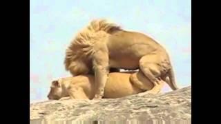 getlinkyoutube.com-Apareamiento de leones en el Serengueti - Lions mating in the Serengeti