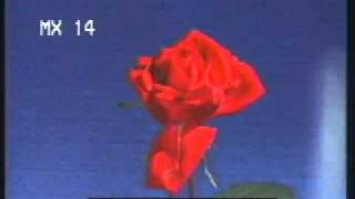 TL Roses - Time Lapse Flowers - Flowers Blooming and Dying  - Best Shot Footage - Stock Footage