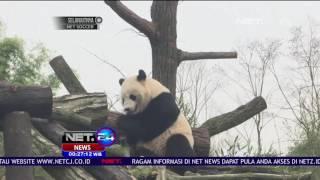 Lucunya Panda ini Terjatuh dari Pohon yang Dahannya Patah - NET24