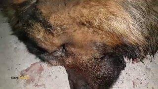 getlinkyoutube.com-سبب موت الكلب سيمبا هو مع جمال العمواسيي