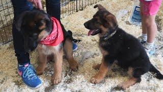 getlinkyoutube.com-Cute Puppies Playing Around - German Shepherd Puppies - Pet Expo
