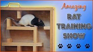 getlinkyoutube.com-Amazing Rat Training Show!
