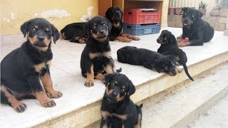 getlinkyoutube.com-Rottweiler: Puppies playing