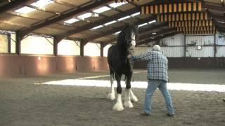 getlinkyoutube.com-Shire Horse Society International Stallion Inspection
