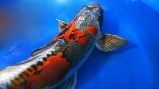 getlinkyoutube.com-Dragon Koi Fish   Ki Kokuryu Koi