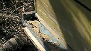getlinkyoutube.com-Beekeeping Danger - Removing Entrance Restrictor