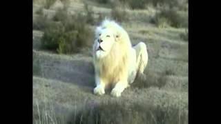 getlinkyoutube.com-قدرة الله .... الاسد الابيض.. اجمل  فيديو ممكن تشوفه في حياتك