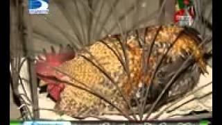 getlinkyoutube.com-মোরগের কণ্ঠে আল্লাহর নাম ।