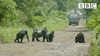 getlinkyoutube.com-A family of gorillas wait to cross the road - Gorilla Family & Me: Episode 1 Preview - BBC Two