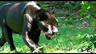 getlinkyoutube.com-BIG CATS - JAGUAR HD