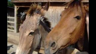 getlinkyoutube.com-Zebra Bred with Horse & Donkey (Zorse & Zonkey)