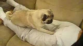 getlinkyoutube.com-Pug Sniffs Butt Scratch and Sniff