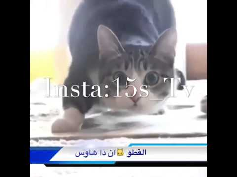 قطو معلايه dancing cat on arabic music