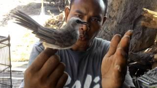 Burung trocok gacor istimewa