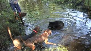 getlinkyoutube.com-Hound Puppies Bay Up a Small Boar Hog