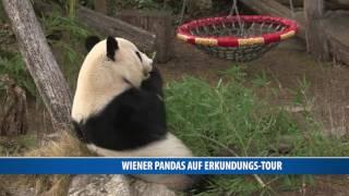 Wiener Pandas auf Erkundungs-Tour
