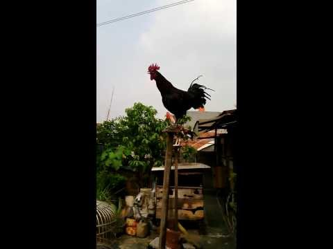 ayam ketawa pis-bar black