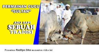 getlinkyoutube.com-Budaya Adu Sapi Di Aceh (SAPI ACEH)