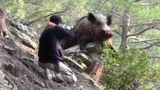 Devasa Büyük Azılı Domuz Avı Wild Boar Hunting