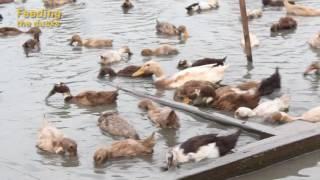 getlinkyoutube.com-Rice Duck Farming