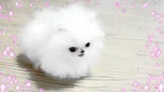 getlinkyoutube.com-poshfairytail.com smallest dog