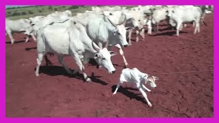 getlinkyoutube.com-Calves Burned and Dragged for Leather Seats