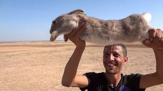 getlinkyoutube.com-Chasse au lapin en Tunisie