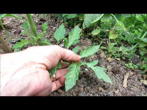 Yellow Mottled Tomato Leaves a Nitrogen Issue: Identification & Treatment With Soluble Fertilizer