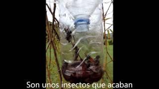 TRAMPA CASERA PARA AVISPAS ASIÁTICAS