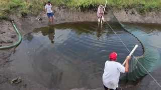 getlinkyoutube.com-Seining in a koi pond @ Imperial Tropicals