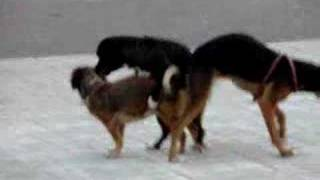 getlinkyoutube.com-Dogs Stuck Together