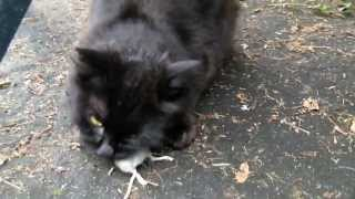 getlinkyoutube.com-Cat kill and eat mouse. Katze erlegt und frisst  Maus.