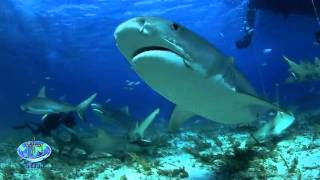 Tiger Shark Express - Official Trailer
