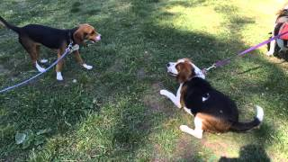 Boost the Beagle Bill !!! A Must Pass !!! End Lab Animals