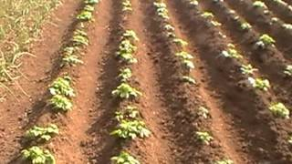getlinkyoutube.com-Potatoes 2012 Planting to Harvest
