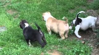 getlinkyoutube.com-Extreme bully puppies playing at the farm