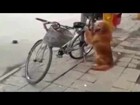 Zlatni retriver čuvar bicikla :)