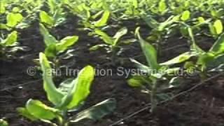 getlinkyoutube.com-jain irrigation Banana Crop.wmv