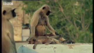 getlinkyoutube.com-New leader kills monkey babies - Monkey Warriors - BBC animals